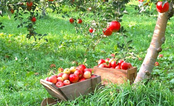 Pommes sous des pommiers
