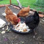 des poules mangeant des déchets