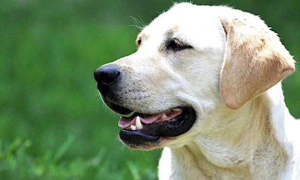 Tete de chien Labrador