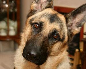 Tete de chien berger allemand