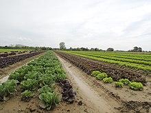 des champs de légumes