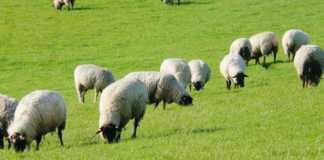 des moutons dans un champs