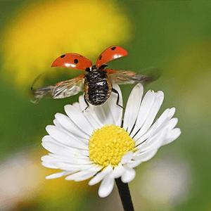 une coccinelle sur une fleur