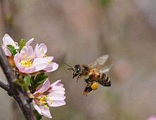 une abeille butinant des fleurs