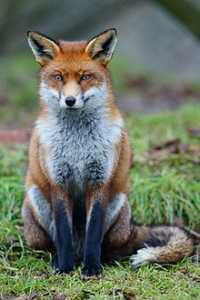 Un renard qui trouve dans les prairies des aéroports un nouveau lieu d'habitat