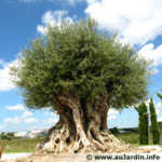 un arbre remarquable: un olivier