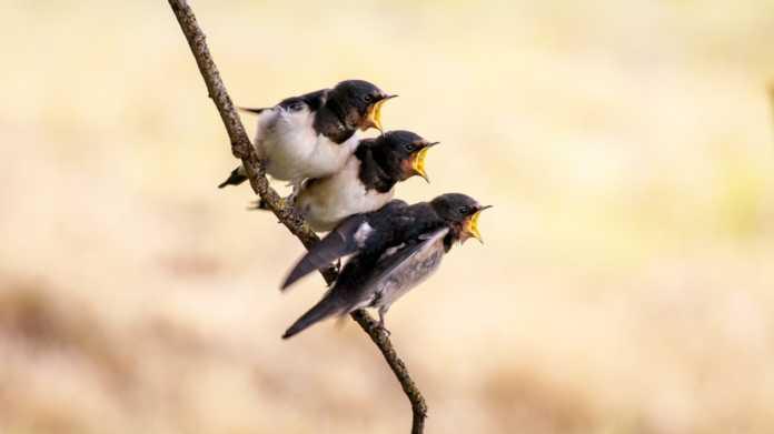 une famille hirondelle