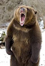Malgré son image sympathique, l'ours est un animal qui peut se révéler dangereux.