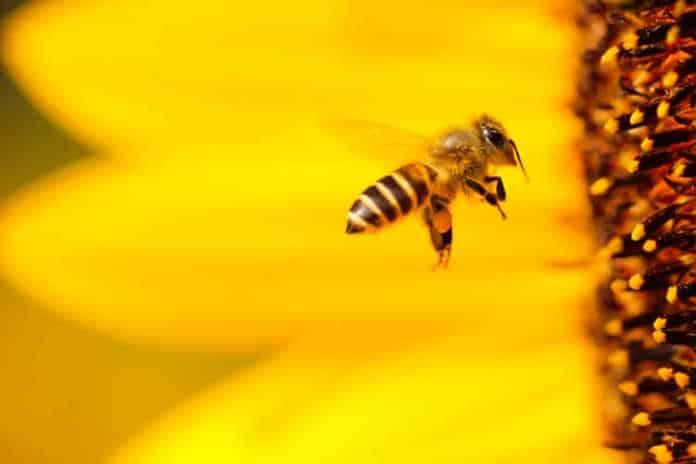 une abeille butinant une fleur