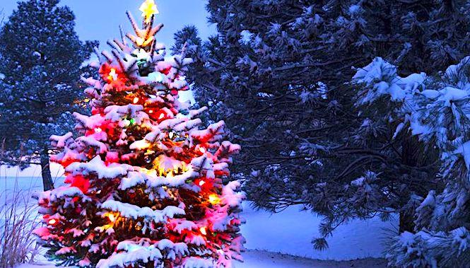 Sapins De Noël Une Tradition Qui Concerne Aussi L
